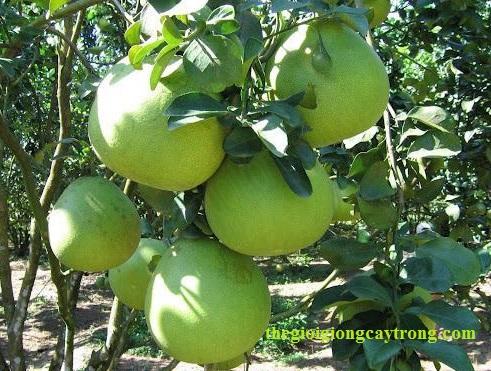 Cung cấp Giống cây Trồng, Cây cảnh, cây ăn quả, liên hệ thegioigiongcaytrong.com-ky-thuat-trong-buoi-da-xanh.jpg