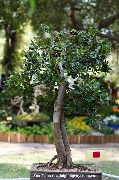 Cung cấp Giống cây Trồng, Cây cảnh, cây ăn quả, liên hệ thegioigiongcaytrong.com-c-y-bonsai-p.jpg