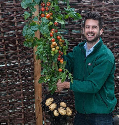 Cây cà chua 'sinh ra'... khoai tây.-c_y_c__chua__sinh_ra___.jpg