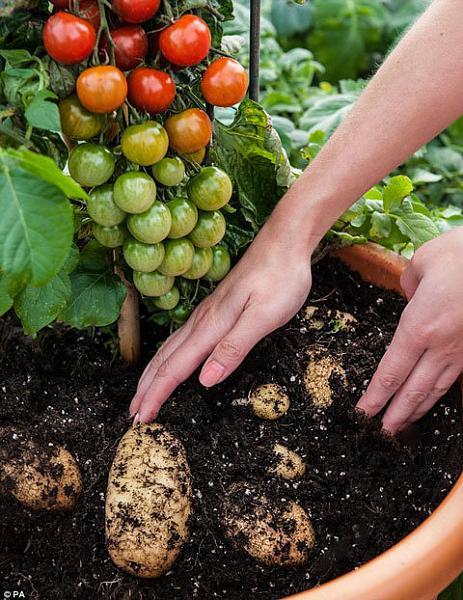 Cây cà chua 'sinh ra'... khoai tây.-c_y_c__chua__sinh_ra___1.jpg