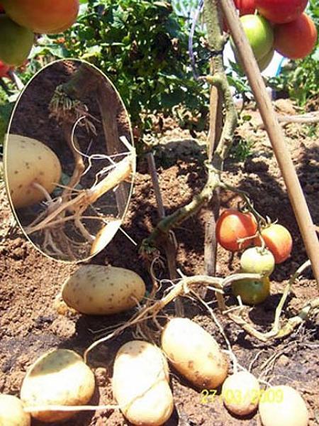 Cây cà chua 'sinh ra'... khoai tây.-c_y_c__chua__sinh_ra___2.jpg